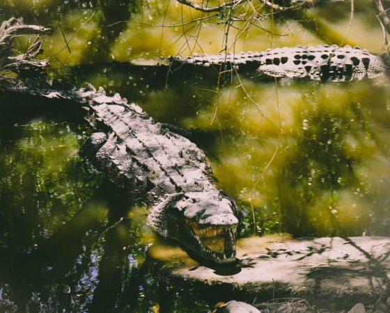Sly as a Crocodile –Part 3 April 2020